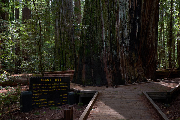 "The ""Giant Tree"", once holding the title of tallest tree in the world"