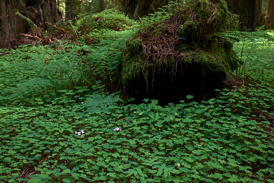 Redwood Sorrel along the Avenue of the Giants