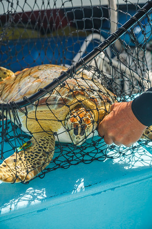 The first green sea turtle captured that day