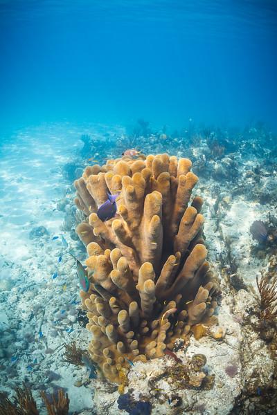 A pillar coral near Conception Island