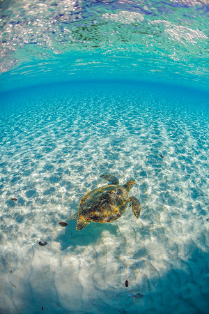 Swimming with a green sea turtle in the lagoon of Conception Island, before capture and measurement