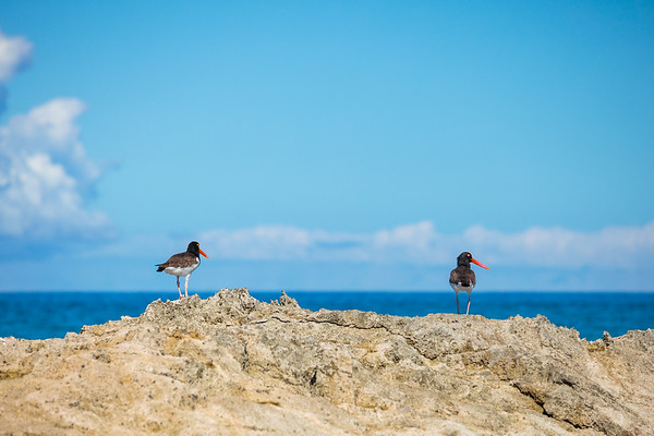 Oyster Catchers on Conception Island