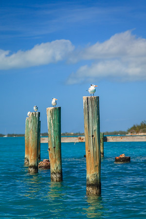 Royal Terns perched on the old pilings of Rock Sound's dock