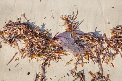 Purple Fan Coral