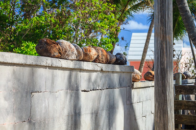 Coconuts lined up on a stone wall in Hope Town