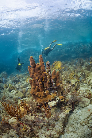 Pillar Coral near Virgin Gorda
