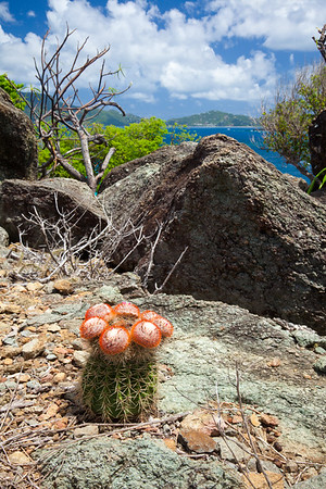 Barrel cactus on Little Jost Van Dyke