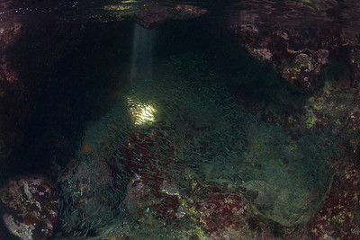Silversides playing in a shaft of light near Guano Island