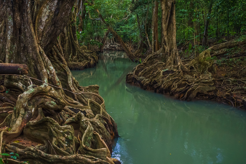 Buttress roots of the mangrove trees in the Indian River