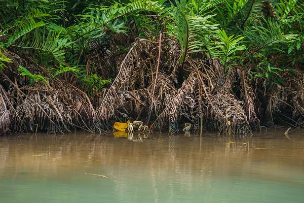 Land crabs hiding under the ferns