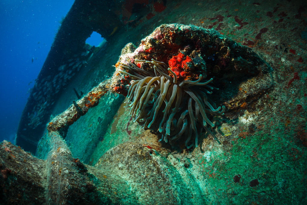 Giant Anemone growing on the Catuan wreck
