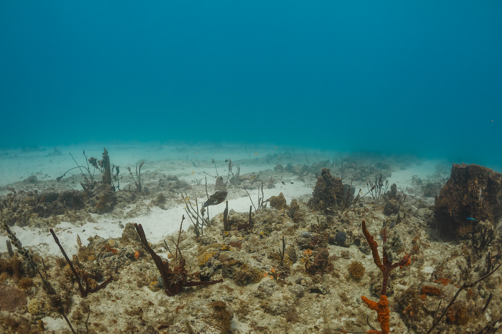 Reef Squid swimming above coral reef near Boca Chica, Dominican Republic