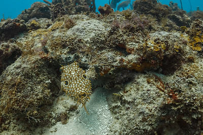This Long Spine Porcupine fish is feeling somewhat defensive