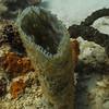 Brittle Starfish inside Azure Vase Sponge