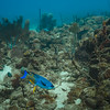 Creole Wrasse and juvenille Bluehead Wrasse near the wreck of the Catuan