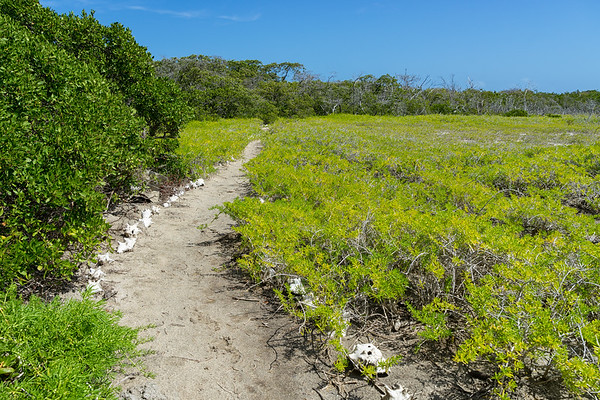 The trail to Petite Carenage is hard to miss, lined with conch shells the entire way.