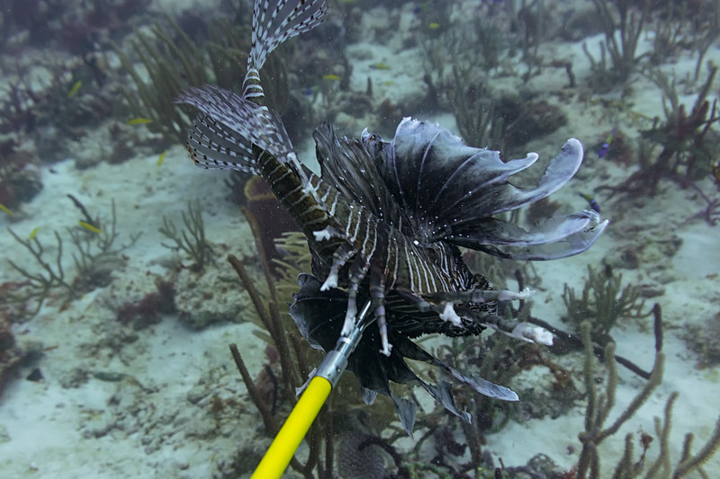 One of the many lionfish speared during this hunt.