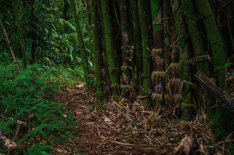 Bamboo along the side of the Grand Etang Lake shoreline trail.