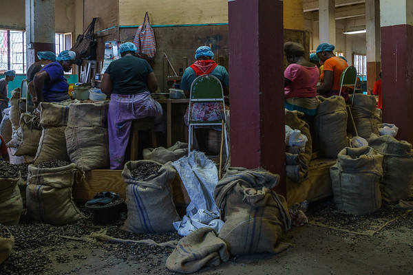 Workers in the Gouyave plant shelling nutmeg.