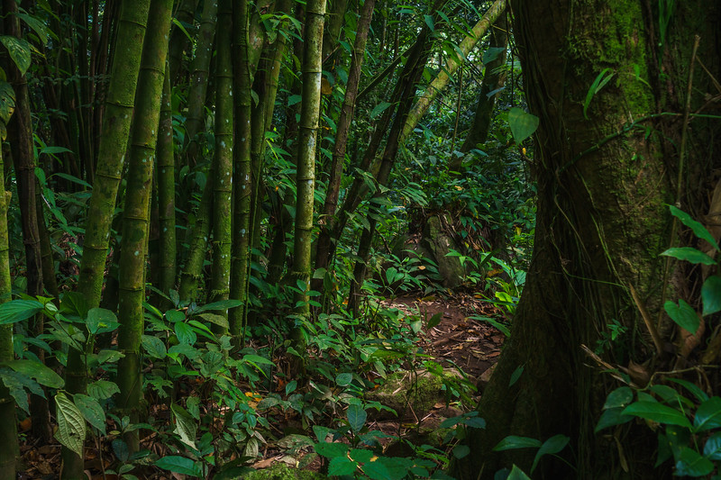 Bamboo stands along the Seven Sisters trail.