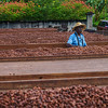 Cocoa on the drying racks at the Diamond Chocolate Factory.