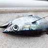 Our only legitimate catch during our westbound sail, a small blackfin tuna.