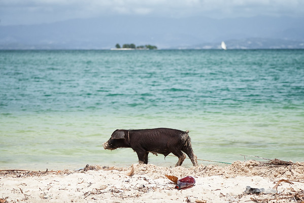Pigs are tied up at Soulette beach and root for trash.