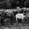 Pack mules awaiting cargo at the market on Ile A Vache