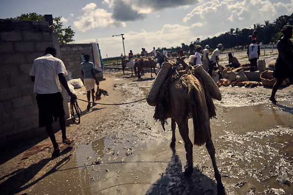 Handling a pack mule at the market on Ile A Vache