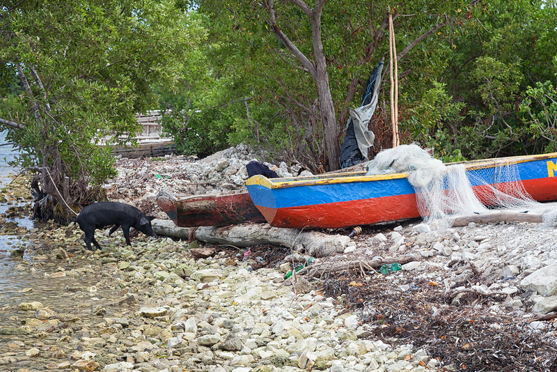 A pig tied to a tree on the beach of Tou Milieu, with some of the colorful fishing boats.