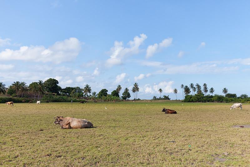 Cattle in Baie La Hatte, Ile A Vache, Haiti.