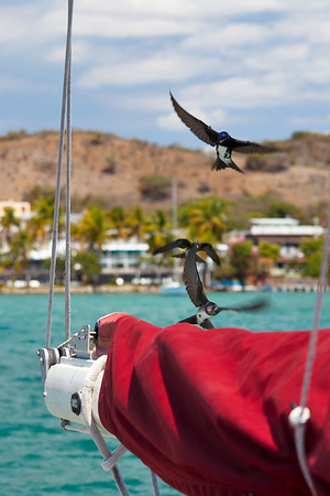 Swallows build nests in sail booms in La Parguera.  Flocks of them welcome each boat arriving in the anchorage while they look for nesting opportunities