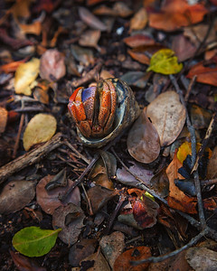 A hermit crab on its back along the trail at Culebrita