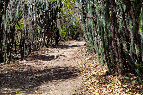 The trail to the lighthouse on Isla Caja de Muertos is lined with tall pipe cactus.