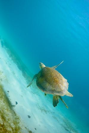 A Green Sea Turtle at Isla Culebrita National Wildlife Refuge