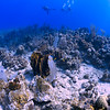 Barrel sponge, Bluehead Wrasse, and Blue Chromis at the Forest site off La Parguera, Puerto Rico