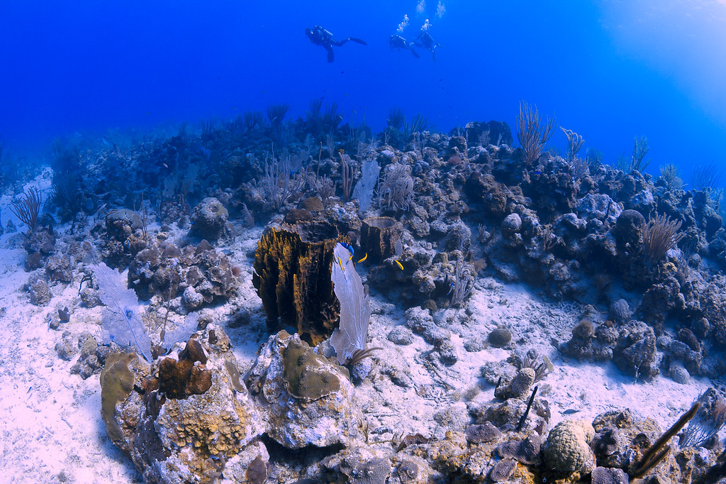 Barrel sponge, Bluehead Wrasse, and Blue Chromis at the Forest site off La Parguera, Puerto Rico