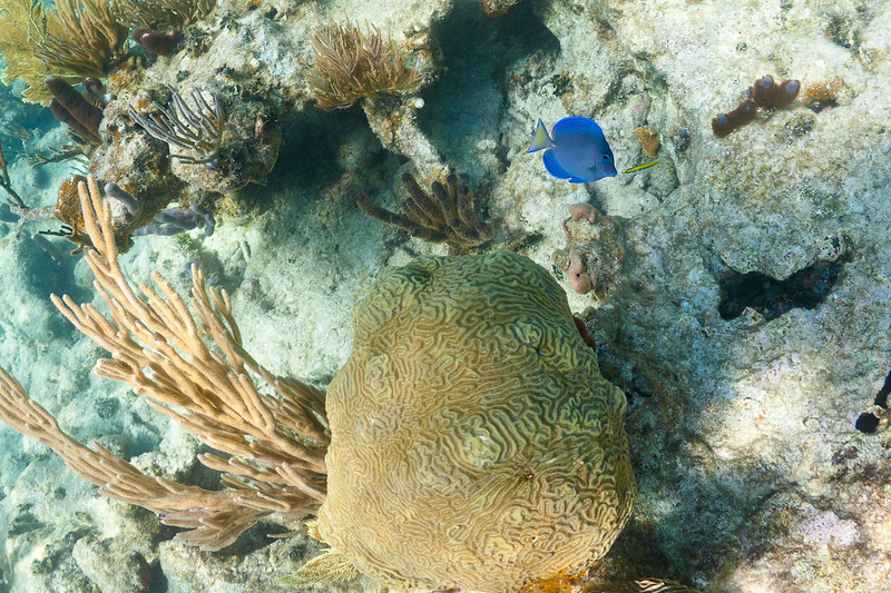 A Blue Tang and Bluehead Wrasse having an intimate moment in the reefs at Isla Culebrita National Wildlife Refuge