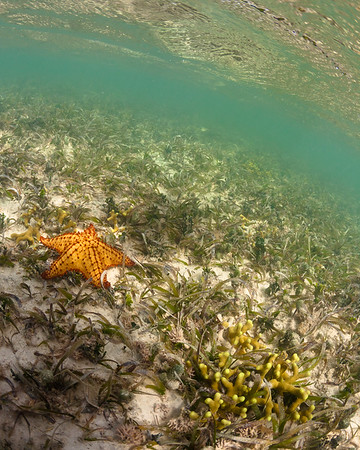 Cushion Sea Star and Finger Coral in the shallow mangroves of Ensenada Honda, Vieques
