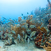 Caesar Grunts with a vareity of sponges and corals in the clear waters of Culebra, Puerto Rico