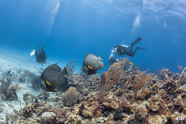 Gray Angelfish at the Forest dive site off La Parguera, Puerto Rico