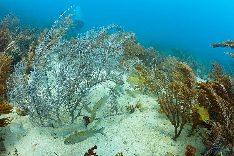 Grunts and sea plumes in Culebra, Puerto Rico