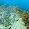 Grunts and sea plumes in Culebra, Puerto Rico