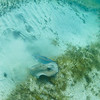 A pair of Southern Stingrays kicking up sand below my boat at Isla Culebrita National Wildlife Refuge
