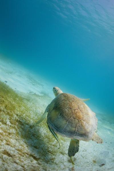 A Green Sea Turtle at Isla Culebrita National Wildlife Refuge