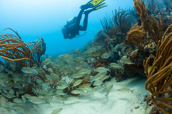 Swimming above a school of grunts in Culebra, Puerto Rico