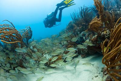 Swimming above a school of grunts in Culebra, Puerto Rico