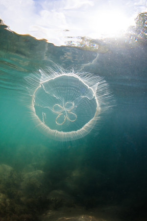 Moon Jelly in the mangroves of Ensenada Honda, Vieques