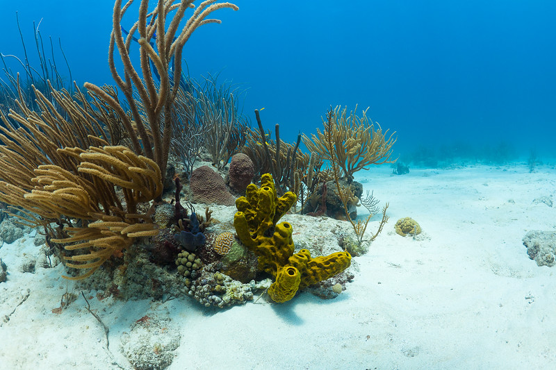 Various corals and sponges in Vieques, Puerto Rico