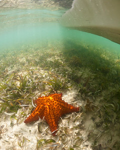 Passing over a Cushion Sea Star in my kayak, Ensenada Honda, Vieques